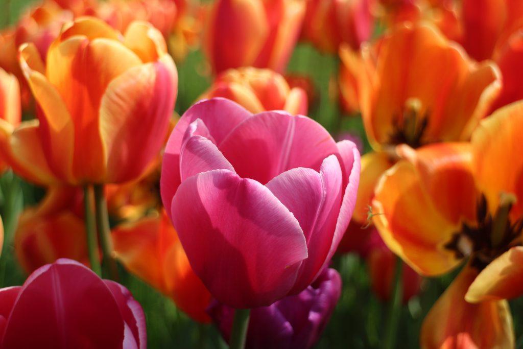 Colorful tulips botanical garden