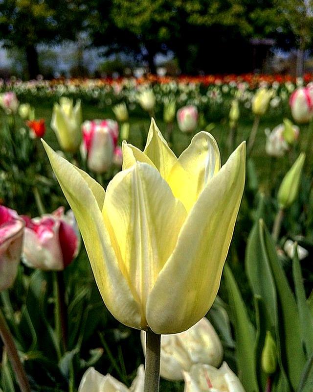 Magical yellow tulip garden