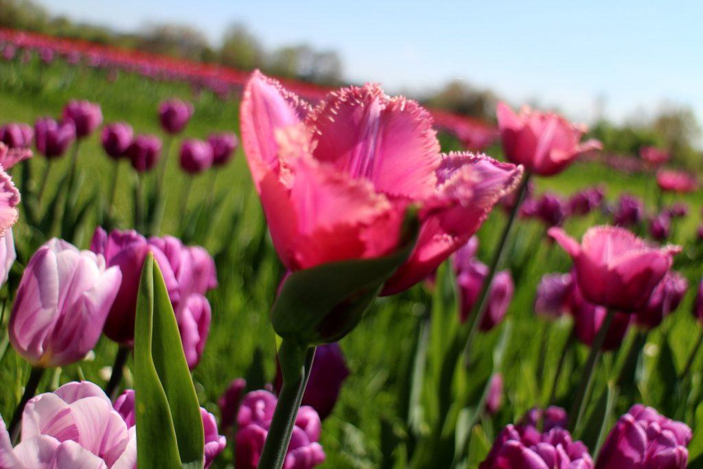 Spring botanical garden purple tulips