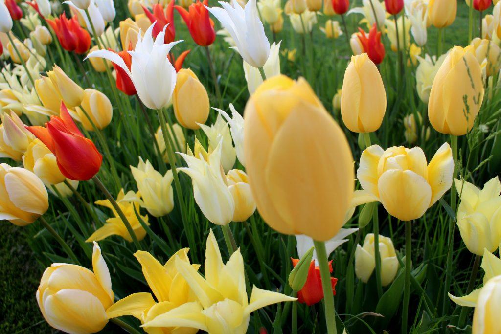 Botanical spring garden mix tulips