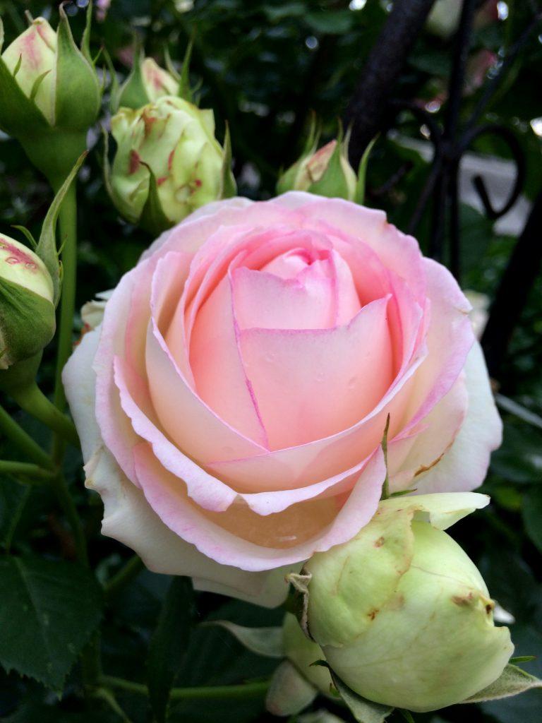 Home pink vintage rose garden