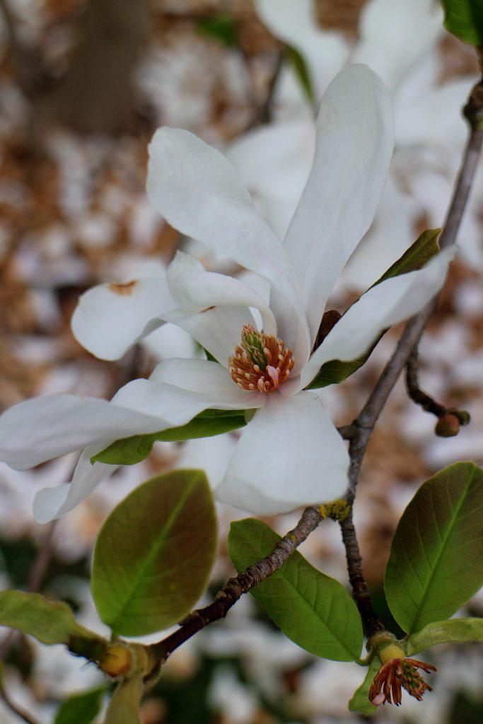 Maison Francis Kurkdjian Magnolia tree blossom