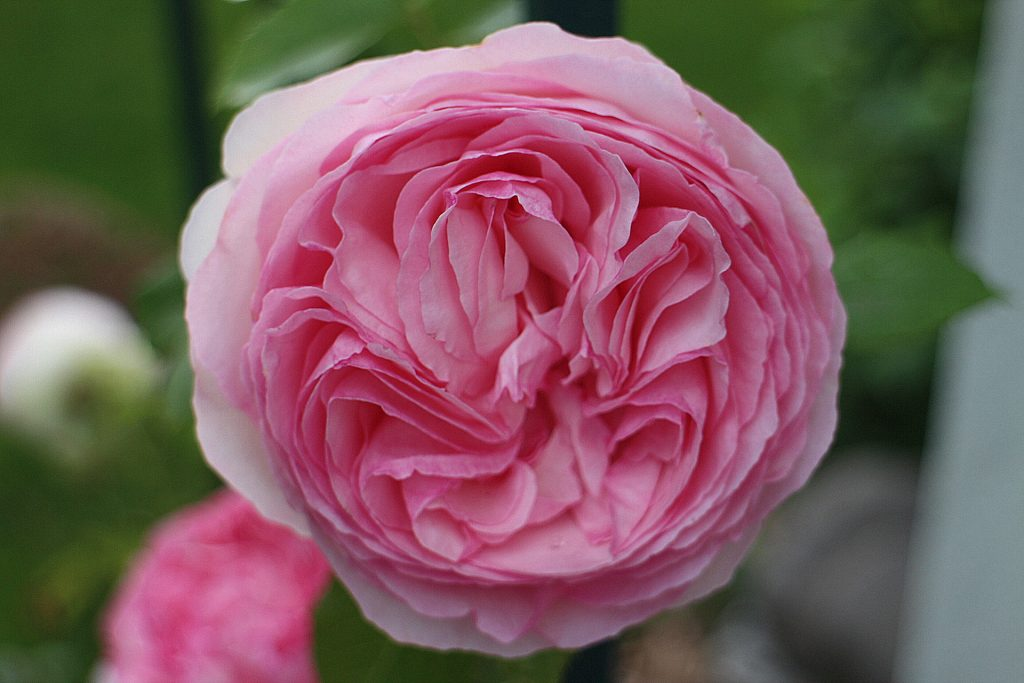 Pierre the Ronsard rose
