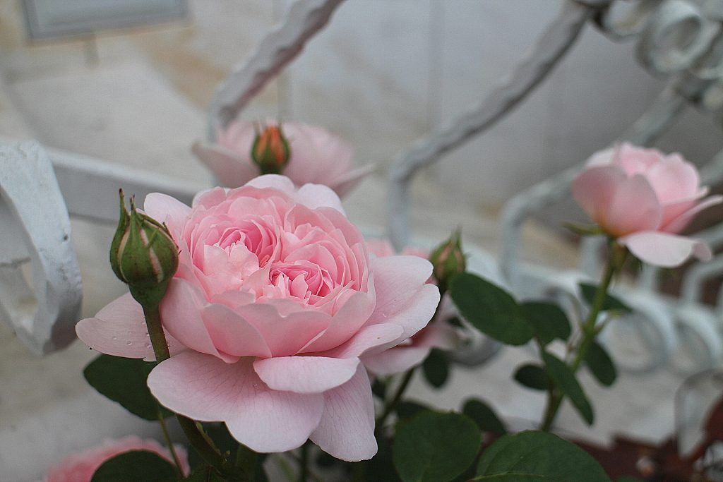 Queen of Sweden rose balcony