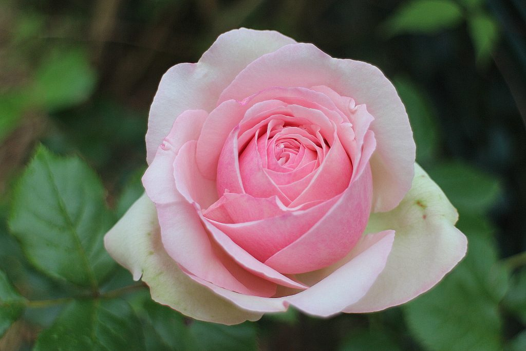 Pierre De Ronsard rose pink blossom