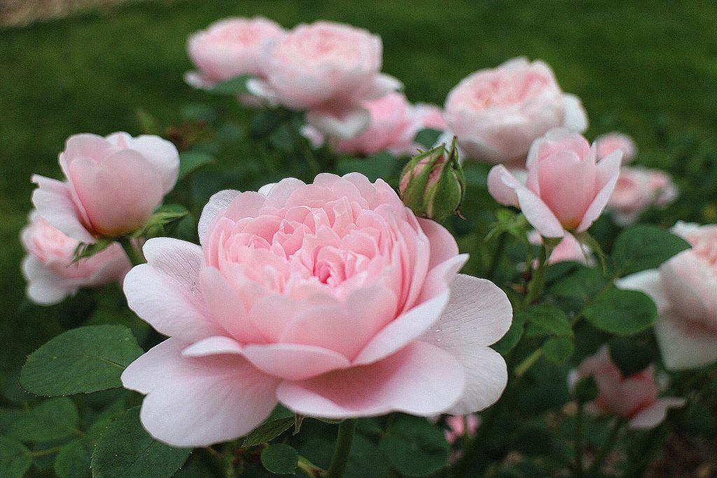 Queen of Sweden roses pink