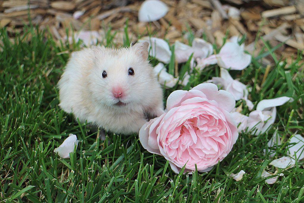 Golden hamster Barney