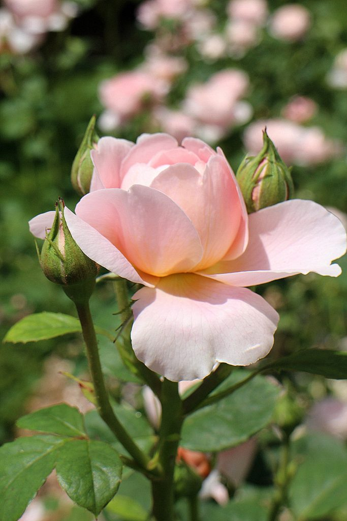 Queen of Sweden Rose pink