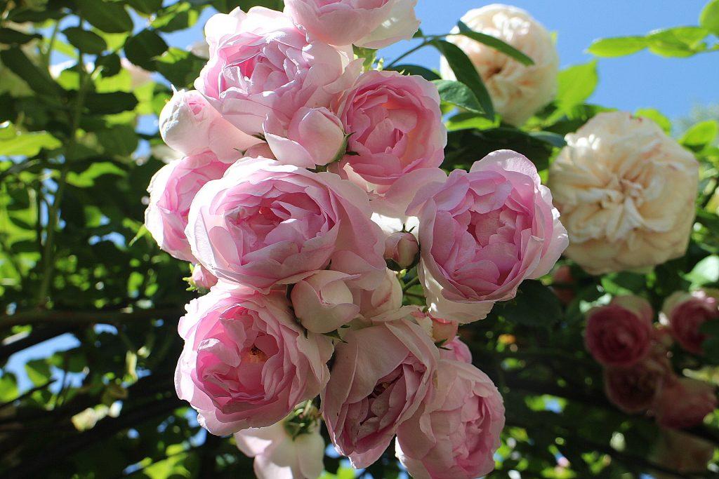 Jasmina roses pastel color