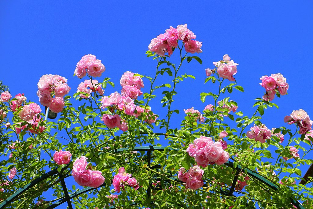 Jasmina roses blue sky