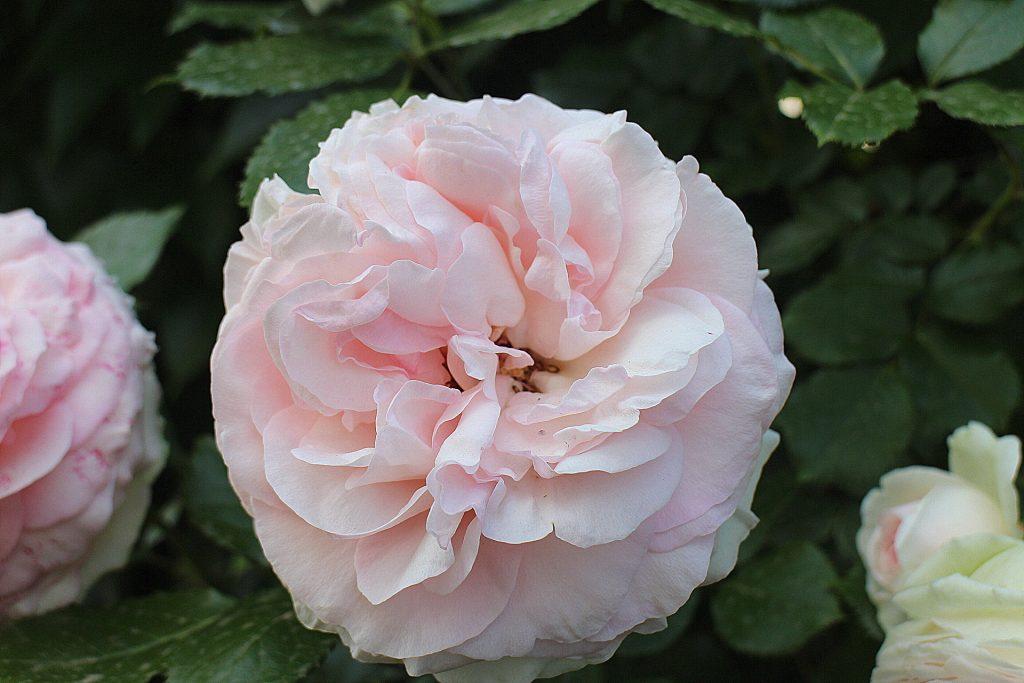 Pierre De Ronsard Pastel pink rose